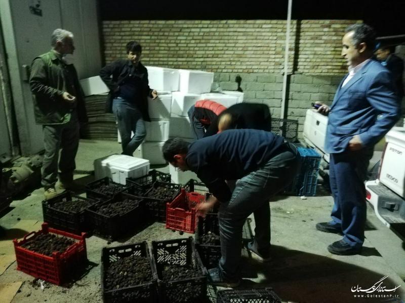 ۵۰۰ کیلوگرم قارچ ترافل در گنبدکاووس کشف شد